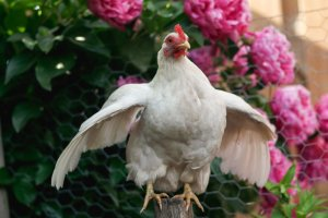 use your confident, noisy chicken voice!